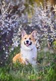 Porträt des netten lustigen roten Hundcorgiwelpen, der auf Hintergrund von blühenden Sträuchen im Frühjahr kann klar Garten und L stockfoto