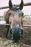 Porträt des netten Pferdekopfs, schöner dunkler Hengst im Stift auf Ranch lizenzfreie stockfotos