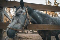 Porträt des netten Pferdekopfs, schöner dunkler Hengst im Stift auf Ranch stockfotos