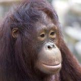 Porträt des Orang-Utans, Abschluss oben Lizenzfreies Stockfoto