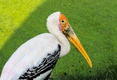 Porträt des Pelikans Lizenzfreies Stockbild