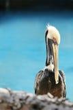 Porträt des Pelikans stockfoto
