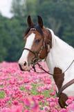 Porträt des Pferds auf dem Mohnblumengebiet Lizenzfreie Stockfotos