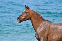 Porträt des Pferds auf einem Hintergrund von Meereswogen Lizenzfreies Stockbild