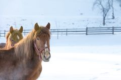 Porträt des Pferds auf Schnee lizenzfreies stockbild
