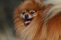 Porträt des pomeranian Hundes lizenzfreie stockfotos
