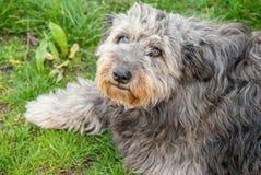 Porträt des rauhaarigen grauen Hundes lizenzfreies stockbild