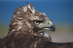 Porträt des rot-angebundenen Falken Lizenzfreie Stockbilder