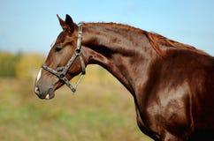 Porträt des roten Pferds Stockfotografie