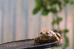 Porträt des ruhigen Frosches, der auf einem Schläger sitzt lizenzfreies stockbild