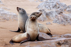 Porträt des Südafrikanischer Seebären - Seelöwen in Namibia Stockfotos