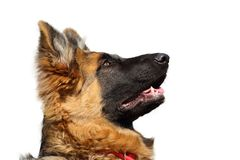 Porträt des Schäferhunds aufmerksam schauend und auf eine Bestellung wartend lizenzfreie stockbilder