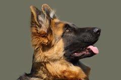 Porträt des Schäferhunds aufmerksam schauend und auf eine Bestellung wartend stockfotografie