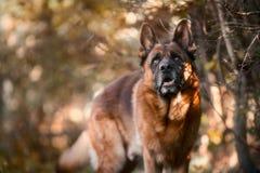 Porträt des schönen männlichen Schäferhunds im Freien lizenzfreie stockbilder
