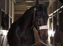 Porträt des schönen Pferds stehend vor dem Reiten Stockbild
