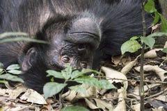Porträt des Schimpansen auf dem Boden in Nationalpark Kibale, Ugand Stockfotografie