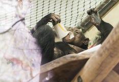 Porträt des Schimpansen beim Zootrinken Lizenzfreie Stockfotografie