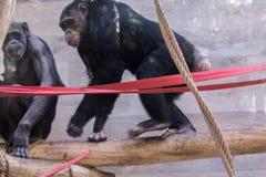 Porträt des Schimpansen im Zoo, der herum spielt Stockbild