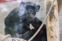Porträt des Schimpansen im Zoo, der Kamera durch Glas betrachtet Stockfotos