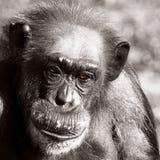 Porträt des Schimpansen mit Zurücktretenhaar-Linie Lizenzfreies Stockfoto