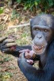 Porträt des Schimpansen Süßkartoffeln beim Sitzen essend auf dem Boden im Regenwald des Sierra Leone, Afrika Lizenzfreie Stockbilder