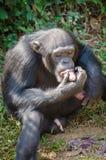 Porträt des Schimpansen Süßkartoffeln beim Sitzen essend auf dem Boden im Regenwald des Sierra Leone, Afrika Stockfoto