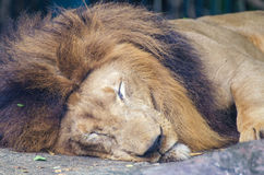 Porträt des Schlafenlöwes Stockfoto