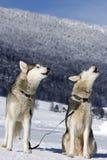 Porträt des Schlittenhundes des sibirischen Huskys Lizenzfreie Stockfotografie