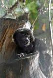 Porträt des schwarzen Affen im Zoo Lizenzfreies Stockfoto