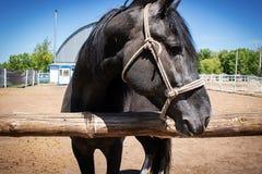 Porträt des schwarzen asiatischen Pferds mit Zaum lizenzfreies stockfoto