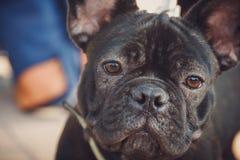 Porträt des schwarzen Bulldoggenwelpen stockfotografie