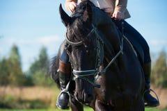 Porträt des schwarzen Dressurreitenpferds mit Reiter Stockfoto