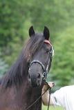 Porträt des schwarzen friese Pferds an der Show Stockfotografie