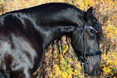 Porträt des schwarzen Frisianpferds, das im schönen Standort aufwirft Abschluss oben stockbild