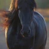 Porträt des schwarzen Frisianpferds in der Freiheit Lizenzfreie Stockfotos