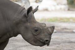 Porträt des schwarzen Nashorns Stockbild