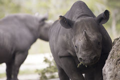 Porträt des schwarzen Nashorns Stockfotos