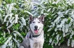 Porträt des sibirischen Huskys mit Hintergrund der weißen Blume Lizenzfreie Stockfotos