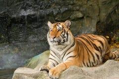 Porträt des sibirischen Tigers Lizenzfreie Stockbilder
