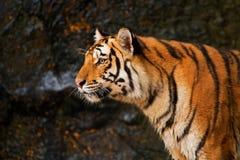 Porträt des sibirischen Tigers Lizenzfreie Stockfotos
