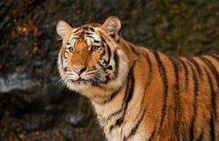 Porträt des sibirischen Tigers Stockbilder