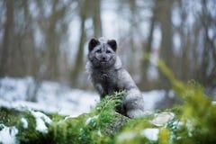 Porträt des Sitzens von Grey Coated Polar Fox stockbild