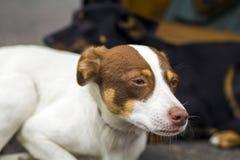 Porträt des Sitzens weiß und des gelben labrador retriever-Hundes, der draußen weg von der Kamera schaut Stockfotografie