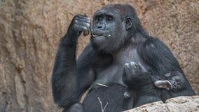 Porträt des starken afrikanischen Gorillas mit einem Baby Stockfoto