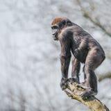 Porträt des starken und wachsamen afrikanischen Gorillas am Schutz auf tr Stockbilder