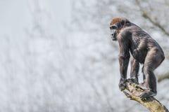 Porträt des starken und wachsamen afrikanischen Gorillas am Schutz auf tr Stockfotos