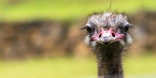 Porträt des Straußparks in Spanien Stockfotografie