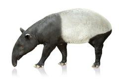 Porträt des Tapirs auf weißem Hintergrund lizenzfreies stockfoto