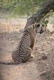Porträt des Tigers in Leben-Schongebiet Park Ranthambhore wildem Stockfotos