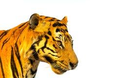 Porträt des Tigers, Tigergesicht lokalisiert auf weißem Hintergrund mit Lizenzfreies Stockbild